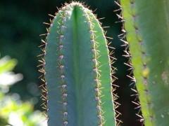 Cereus peruvianus(بسته 1000عددی)