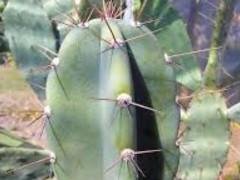 Cereus forbesii (عددی1000)