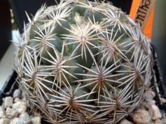 Coryphantha radians(بسته 1000عددی)