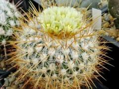 Echinofossulocactus albatus(بسته 1000عددی)