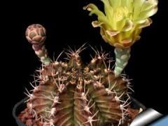 بذر کاکتوس ژمینوکلسیم فریدریچی Gymnocalcium friedrichii v.filadelfinesis بسته 1000 عددی