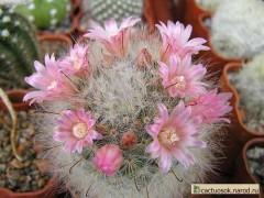 بذر/کاکتوس/مامیلاریا Mammillaria bocasana var. roseaبسته 1000عددی