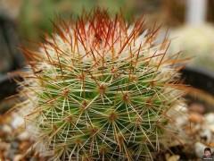 بذر/کاکتوس/مامیلاریا بذر/کاکتوس/مامیلاریا Mammillaria spinosissima rubra   بسته 1000 عددی