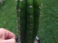 بذرکاکتوسTrichocereus pachanoi0بسته 1000عددی