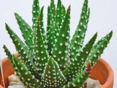 بذر ساکولنت هاورتیا Haworthia margaritifera بسته 1000 عددی