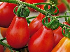 بذر گوجه قرمز گلابي امريكا F2بسته 1000عددی