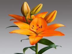 پياز گل ليليوم رنگ نارنجي Caesars Palace LA