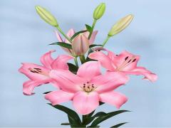 پياز گل ليليوم رنگ صورتی  Tirreno LA