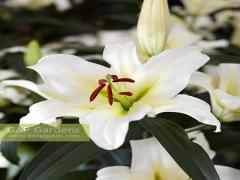 پياز گل ليليوم رنگ سفید Forever OTهیبرید