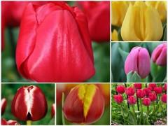 پیاز گل لاله هلندی (60عدد از هررنگ 10عدد)MIX