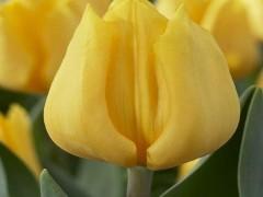 پیاز گل لاله هلندی (70عدد از هررنگ 10عدد)MIX