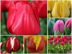 پیاز گل لاله هلندی (12عدد از هررنگ 2 عدد)MIX
