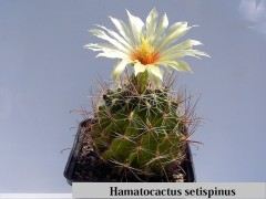 بذر کاکتوس هاماتوکاکتوسHamatocactus setispinus(بسته 1000عددی)