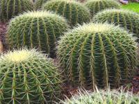 بذر کاکتوس Vilmorin