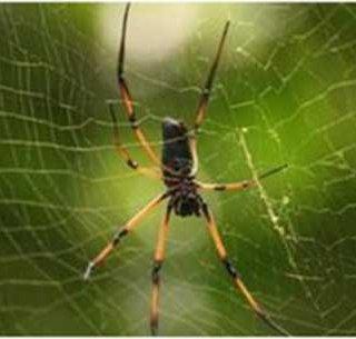 محکمترین تار عنکبوت جهان تولید شد