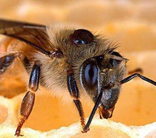 ملکه زنبور عسل محققان ایرانی متولد شد