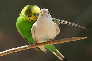 داستان مرغ عشق