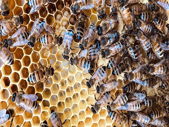 عسل وحشی با گرده گل کوهی