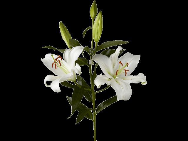 گل لیلیوم