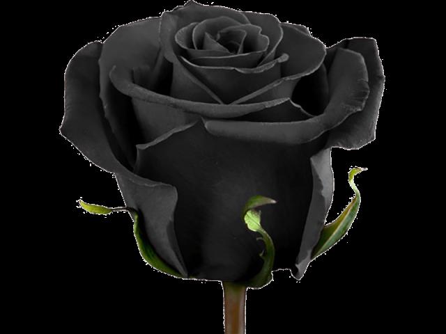 گل رز هلندی رنگ خاص