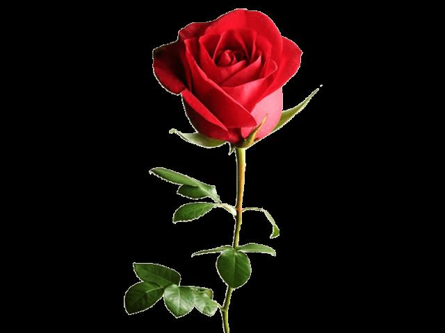 گل رز ایرانی