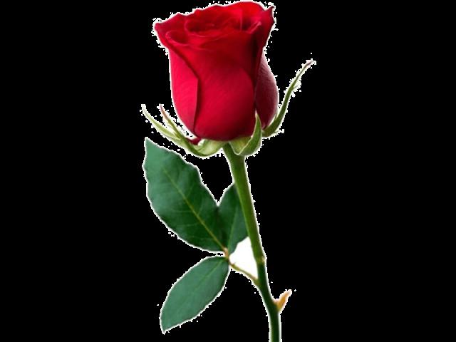 گل رز هلندی خاکی