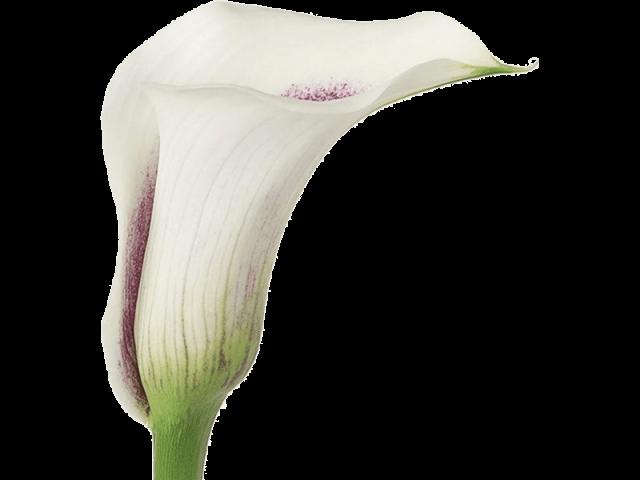 گل شیپوری ایرانی