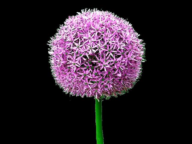 گل پیاز