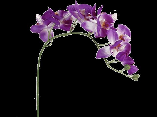 گل ارکیده دندربیوم