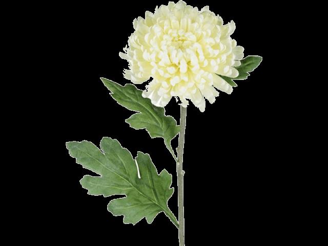 گل داوودی شاخهای