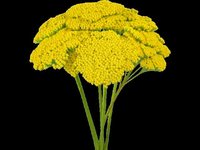 گل آچیلا