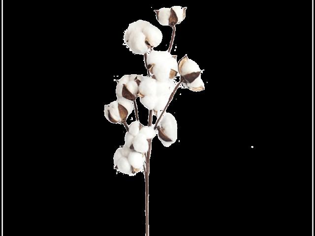 گل پنبه