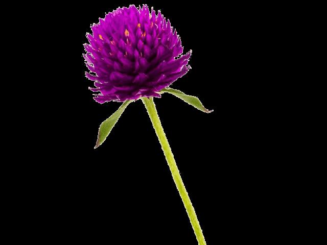 گل تکمه ای