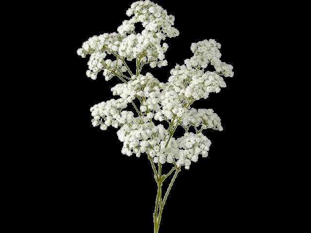 گل جیپسوفیلا