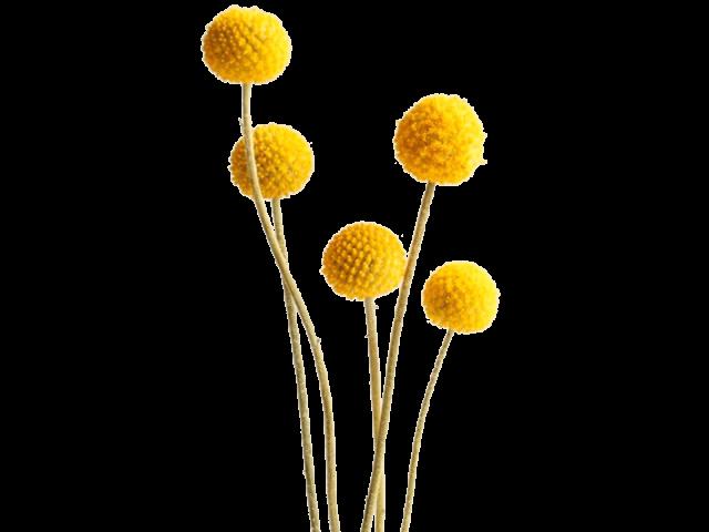 گل کراسپدیا