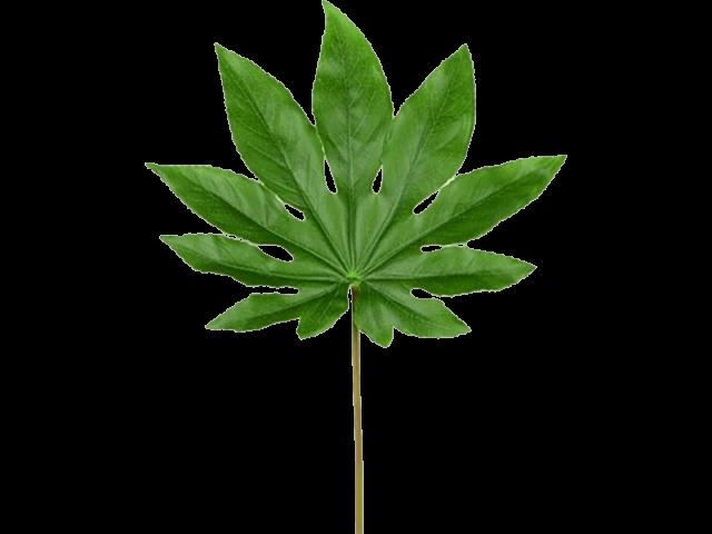 برگ آرالیا