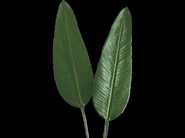 برگ استرلیتزیا