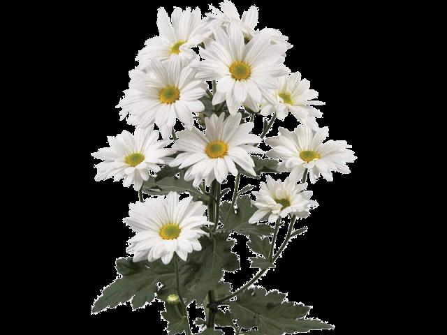 گل داوودی خوشه ای