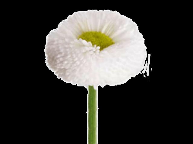 گل مینا