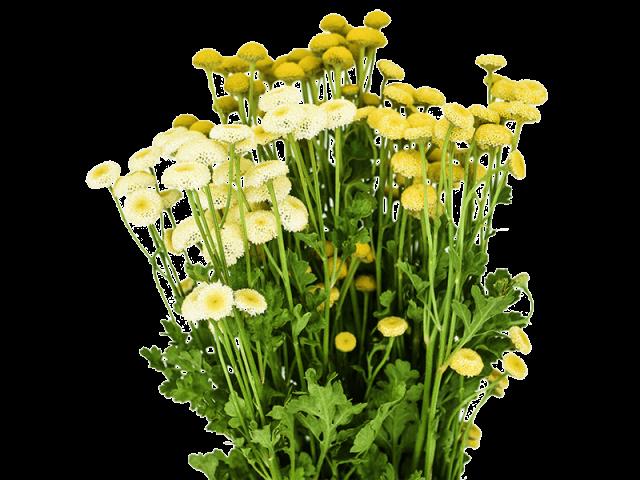 گل مخلصه