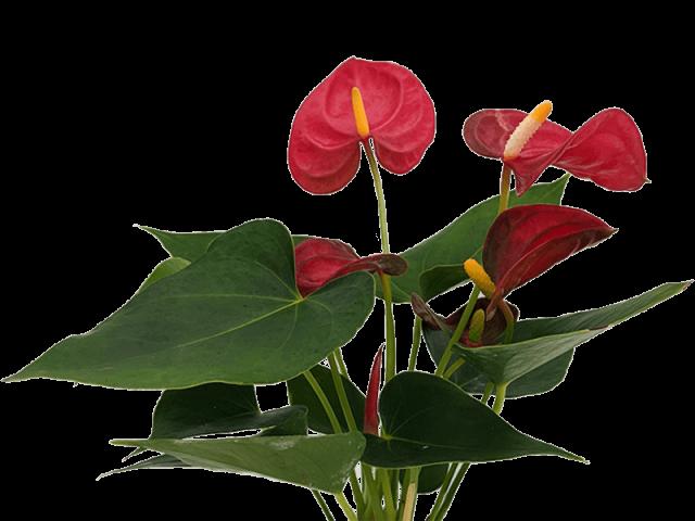 گل آنتریوم مینیاتوری