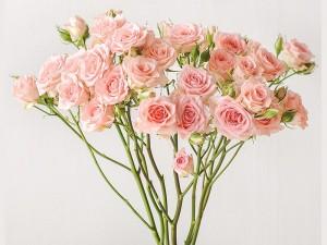 گل شاخه بریده رز مینیاتوری