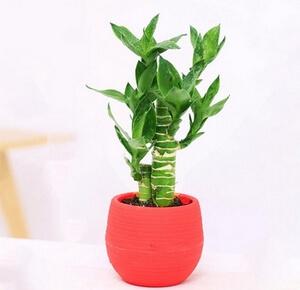 گیاه گلخانه ای بامبو